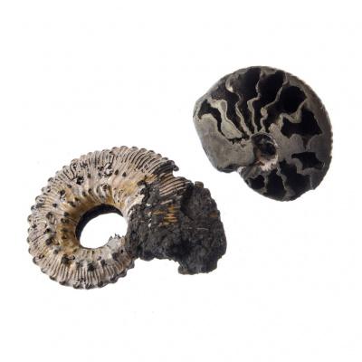 Ammonite Fossile Piritizzata
